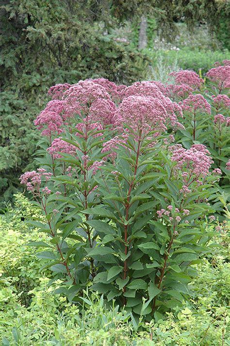 joe pye weed eupatorium maculatum in columbus dublin delaware grove city gahanna bexley ohio