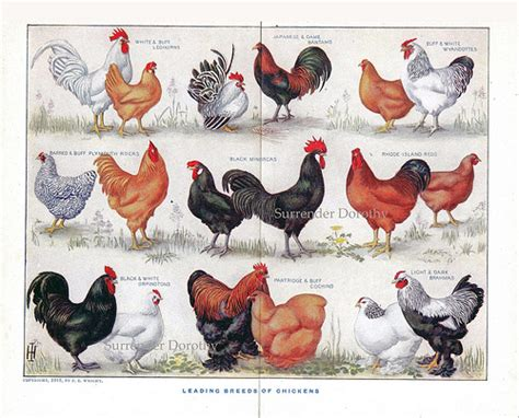 Hawaiian Style Homes 1912 know your chicken varieties identification chart