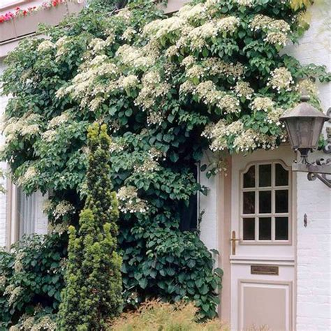 climbing plants for walls evergreen climbing plants on the garden walls www coolgarden me