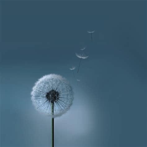 wallpaper samsung galaxy v original samsung galaxy siii s3 dandelion wallpaper by kingwicked