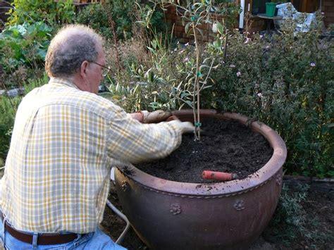 concime per olivo in vaso ulivo in vaso frutteto coltivazione ulivo in vaso