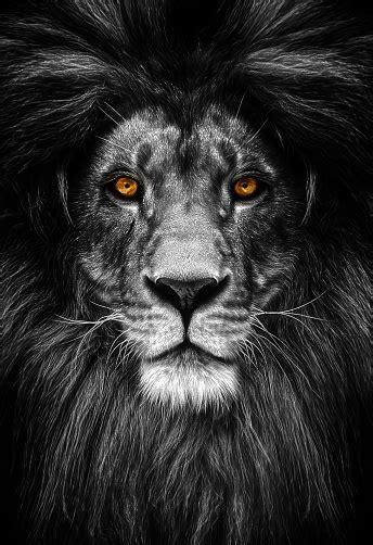 Photo libre de droit de Portrait Dun Beau Lion Lion Dans