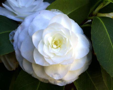 Gardenia Or Camellia Camelias