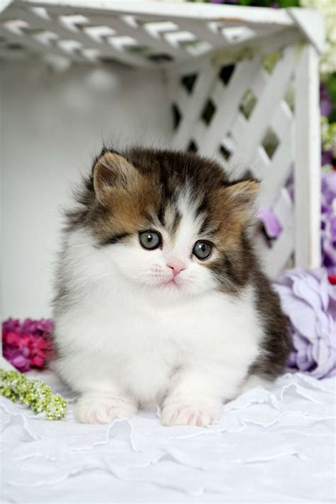 rug hugger kittens for sale baby shaded golden tabby white rug hugger kittenultra kittens for sale