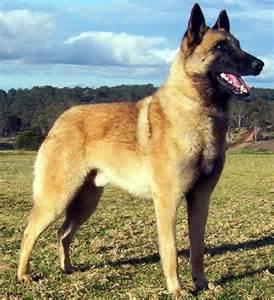 belgian shepherd long haired rase de caini 187 ciobanesc belgian malinois