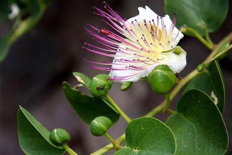 fior di cappero fiore cappero aromatiche caratteristiche fiore