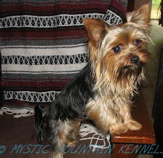 yorkie puppies knoxville tn 26 best images about yorkie puppies terrier on tiny puppies