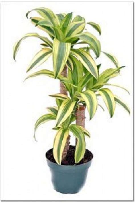 dracaena fragrans dracaena fragrans lindenii indoor plants fres hoom