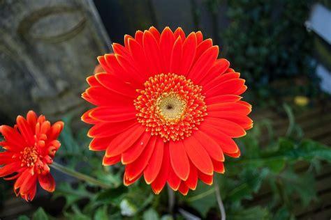 imagenes flores gerberas flores rojas gerberas im 225 genes y fotos