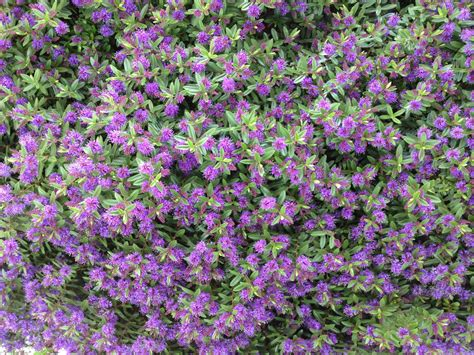 bush with small purple flowers flowers ideas for review