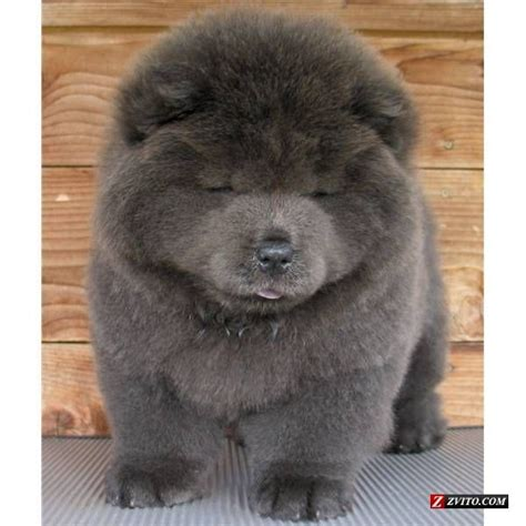 blue chow chow puppies blue chow puppy for the dogs