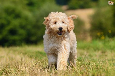 doodle doodle breed goldendoodle breed information buying advice photos