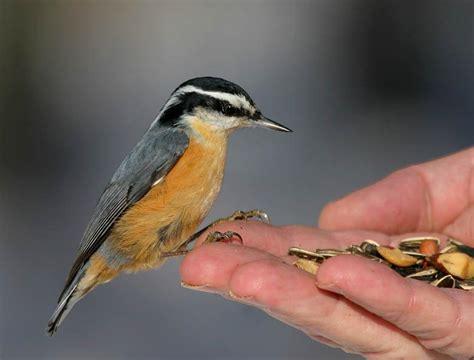 ornithology western birds integrative biology 104 with
