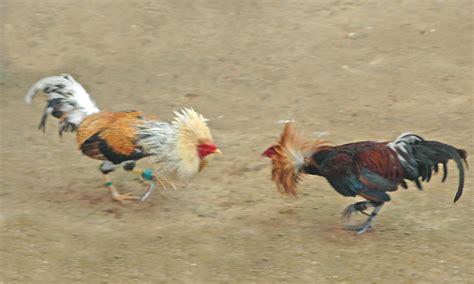 peleas de gallos mexicanos gallos y galleros los gallos de pelea en m 233 xico