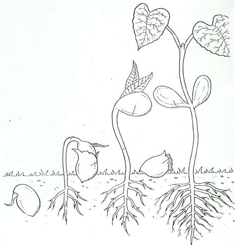 free seed germination coloring pages