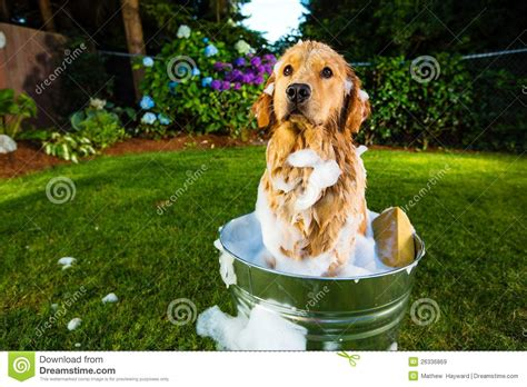 golden retriever bath bath royalty free stock images image 26336869