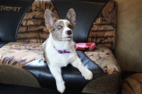 cowboy corgi puppy are new puppy cowboy corgi photo eric photos at pbase