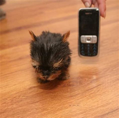 smallest puppy terrier meysi is the world s smallest damn cool pictures
