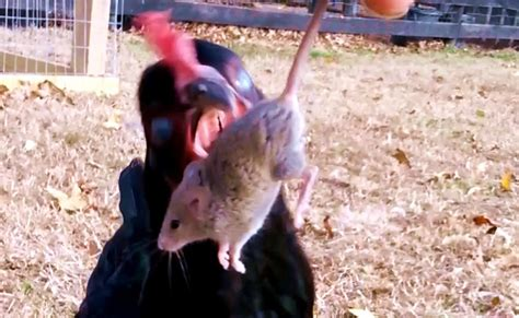 chicken eating mouse youtube