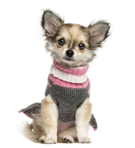 names for chihuahua puppies chihuahua names big names for the