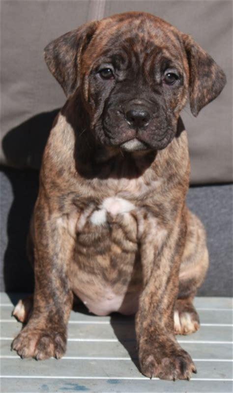 corso brindle puppy ca corso puppies for sale corso for sale