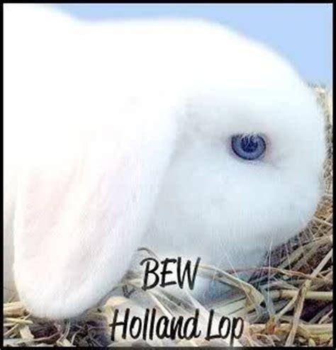 backyard bunnies rabbitry 1000 ideas about blue bunny on pinterest bunny bunnies and netherland dwarf