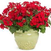 geranio fiore gerani pelargonium piante annuali caratteristiche