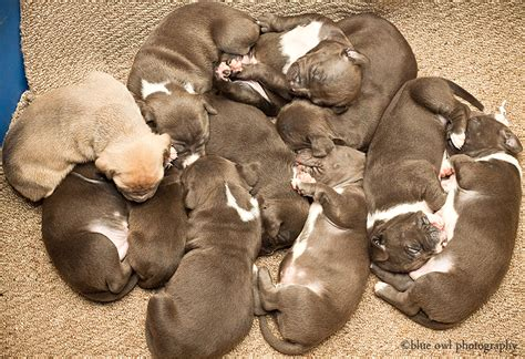 puppies fort wayne photos of blue pitbull puppies for sale