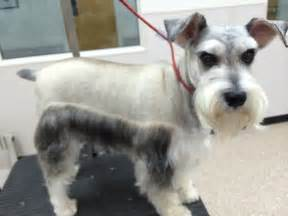 schnauzer hair styles types of schnauzer haircuts pictures to pin on pinterest