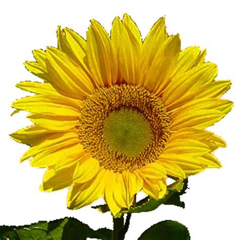 Bunga Matahari Sunflower bunga bunga yang kerap dijadikan sarana untuk menyatakan