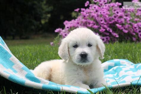 next day puppies golden retriever puppies for sale next day pets design bild