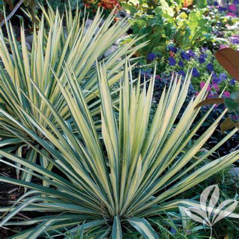 color guard yucca premier nursery