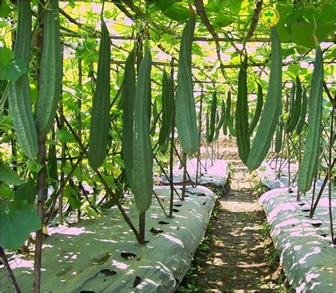 Harga Bibit Kangkung Panah Merah cara budidaya tanaman oyong gambas yang baik dan benar