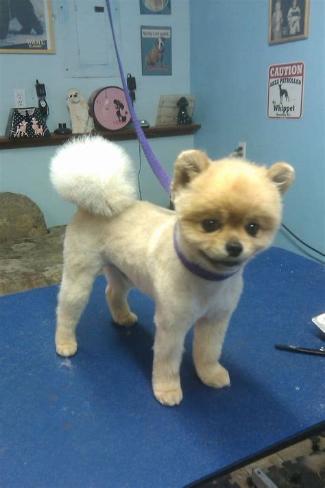 pomeranian grooming teddy cut pomeranian in a teddy hair cut yelp