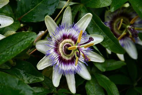 file blue passion flower passiflora caerulea jpg