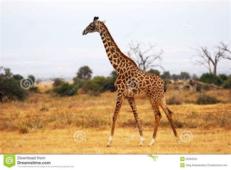 imagenes reales de jirafas jirafa en la sabana africana imagen de archivo imagen