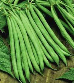 contender bush bean growin crazy acres