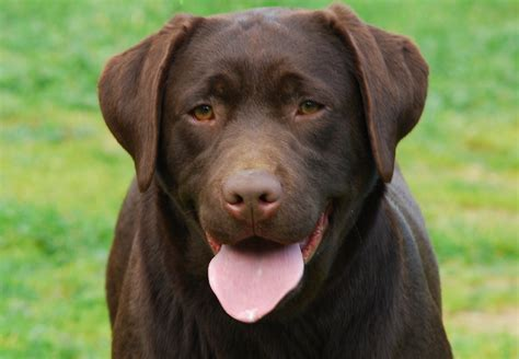golden retriever chocolate lab gr sh ch m c of palmhill u d c est un reve labrador m c of palmhill labrador