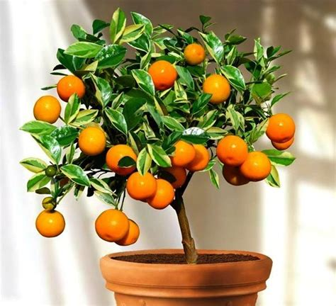 Jual Sunlight Lime by Citrus Mitus Calamondin Orange Smart Seeds Emporium
