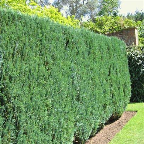 Quanto Costa Un Giardiniere by Cipresso Di Leyland 2 Brontevivai It