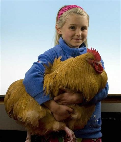 buff golden retriever best 25 buff orpington ideas on chicken breeds hens and black chickens