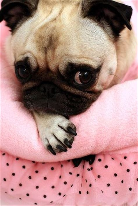 pug screen website name 10 best images about pug pictures on a pug puppys and pug