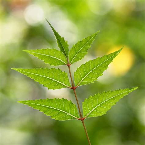 neem for garden pests neem tree