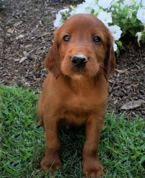 red setter dog pictures irish red setter puppies www imgkid com the image kid