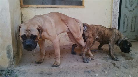 bullmastiff colors brindle bullmastiff puppy for sale wit parents pix