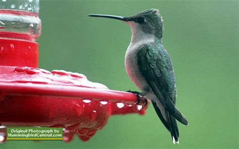 ruby throated hummingbird scientific name size range
