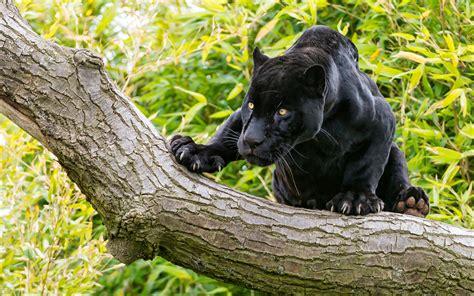imagenes de jaguar para descargar fondos de pantalla pantera negra grandes felinos jaguar