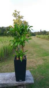 Indoor Garden Solutions - iron tree plant chye heng orchid garden pte ltd plants for sale and rent
