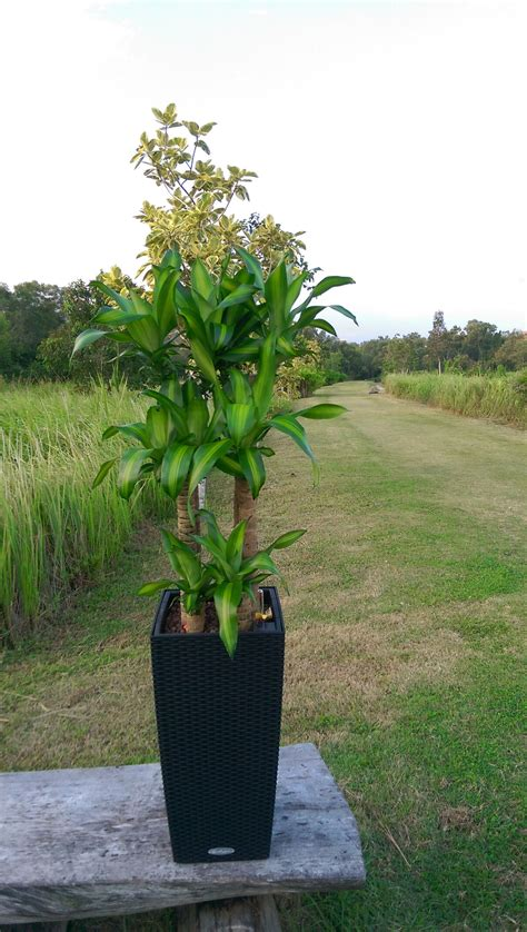 iron tree plant chye heng orchid garden pte  plants