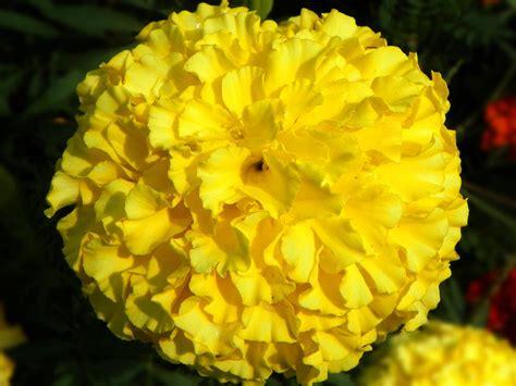 Yellow Marigold j beachy photography yellow marigold